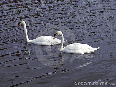 Couple of swans Stock Photo