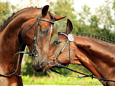 Couple trakehner stallions