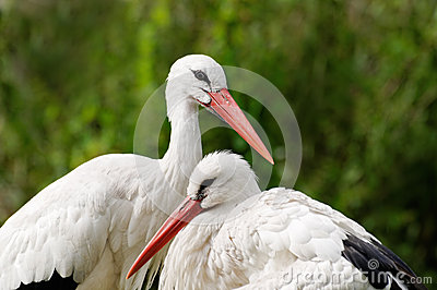 Couple of white storks