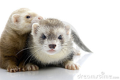 A couple of young ferrets.