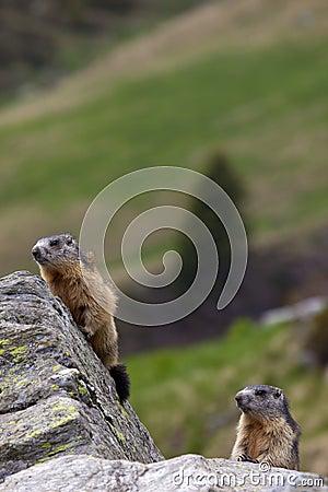 Couples des marmottes (marmota de Marmota)