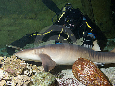 Courageous diver and Nurse shark