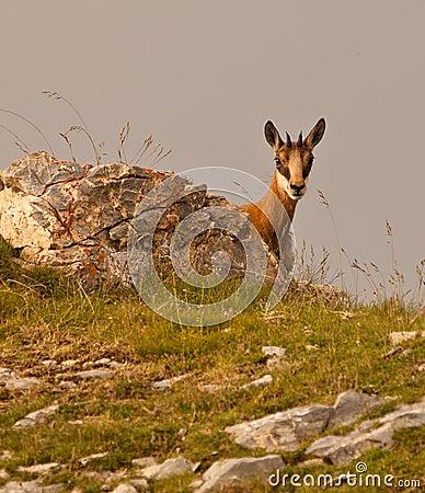 Couro cru - e - busca de uma cabra-montesa