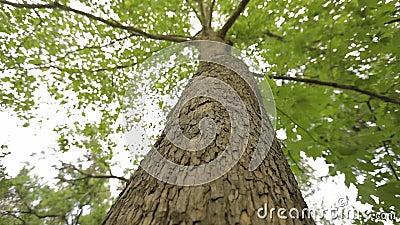 Couronne de la vue inf?rieure d'arbre, grand arbre avec les branches bifurqu?es, vieux grand arbre Sc?ne panoramique verticale de banque de vidéos