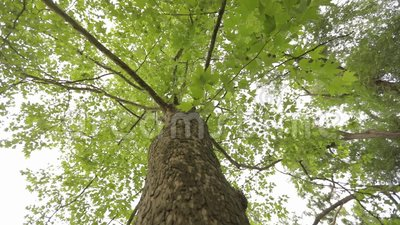 Couronne de la vue inf?rieure d'arbre, grand arbre avec les branches bifurqu?es, vieux grand arbre clips vidéos