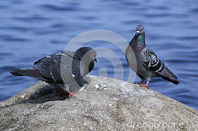 Courting male dove