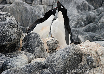 Courting penguins