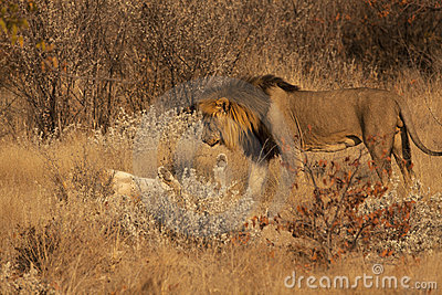 Courtship between Lion and Lioness