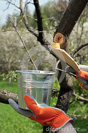 Covering  apple tree with garden pitch