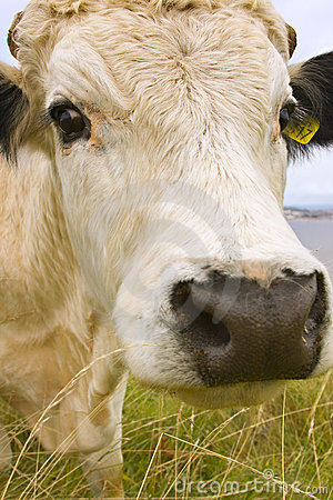 Free Cow Royalty Free Stock Photography - 11061727