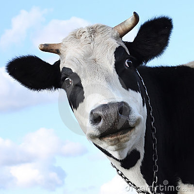 Free Cow Royalty Free Stock Photos - 12394788