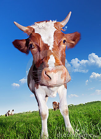 Free Cow Royalty Free Stock Images - 15781709