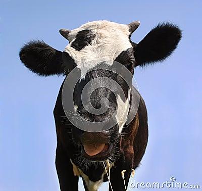 Free Cow Stock Image - 20084991