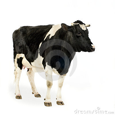 Free Cow Stock Photo - 2250270