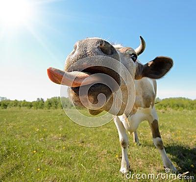 Free Cow Stock Image - 25100241