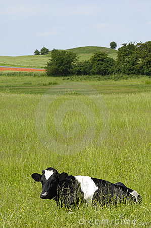 Free Cow Royalty Free Stock Photography - 2713877
