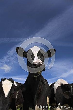 Free Cow Stock Photos - 5357833