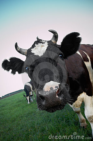 Free Cow Stock Images - 5582634