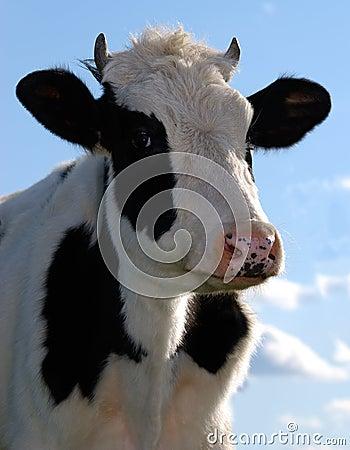 Free Cow Stock Photo - 5725690