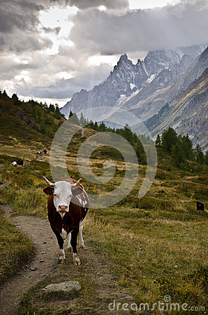 Cow along the Italian Alps
