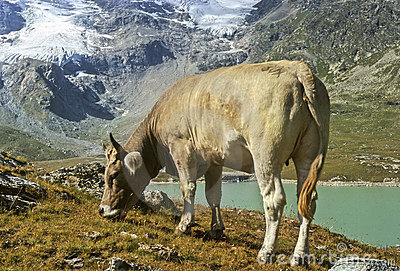 Cow in Alps