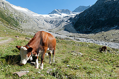 A cow in the alps