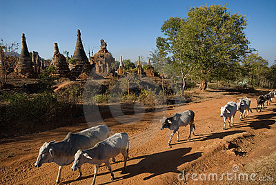 Cow around the stupas near  Inle lake in Myanma