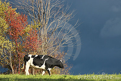 Cow in Autumn