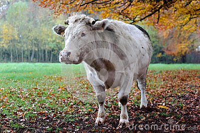 Cow with autumn landscape.
