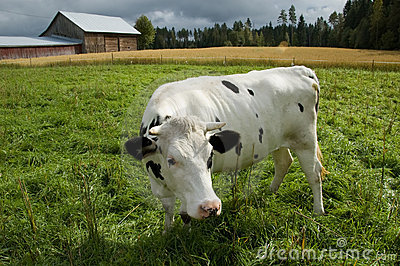 Cow and a Barn in Finnish Countryside