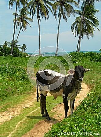 Cow beach palm trees Nicaragua Caribbean