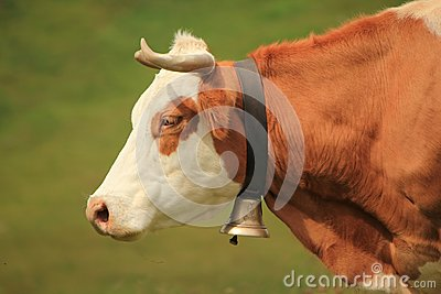 Cow and bell