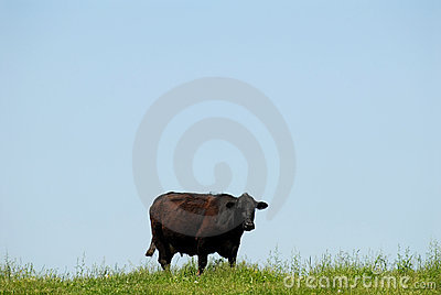 Cow and blue sky