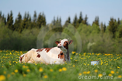 Cow and bucket