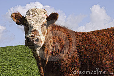 Cow bull posing