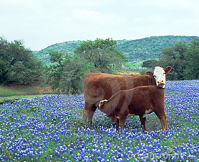 Cow Calf in Field Blue Bonnets