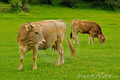Cow and calf graze