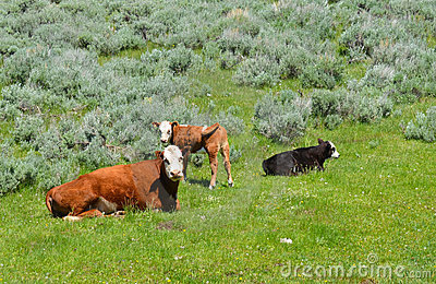 Cow With Calves