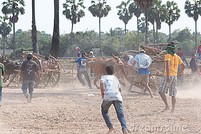 Cow cart racing festival in Thailand Editorial Photography