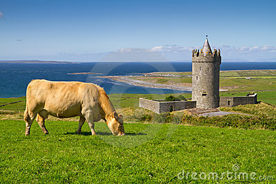 Cow at the castle - Ireland
