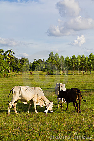 Free Cow Cattle Stock Image - 20170281