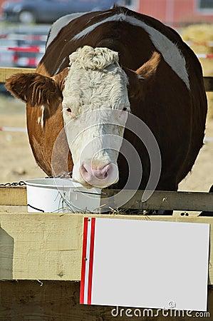 Cow on cattle fair