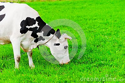 Cow on the chain chews grass