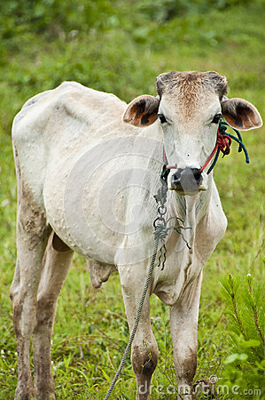 Cow in countryside, Thailand.