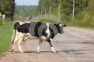 The cow crosses road