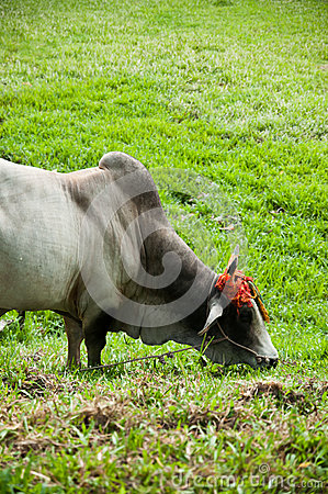 Cow with decorated horn