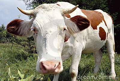 Cow distorted by the wide angle lens