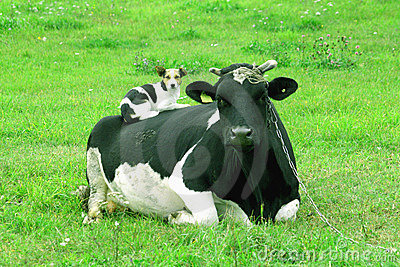 Cow and dog - frienship between species