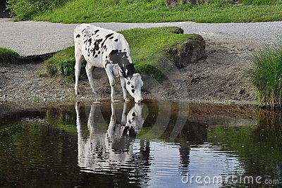 Cow drinking from pond, lake or river