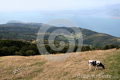 A cow eating grass, landscape photo